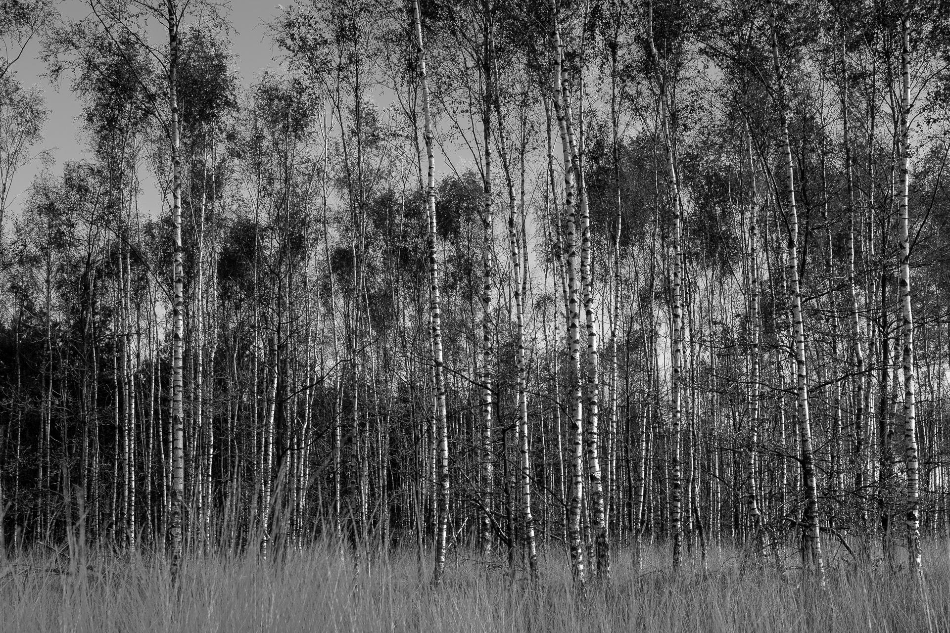Landschapsfotografie Berken zwart-wit